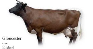 List of England Cow Name With Picture