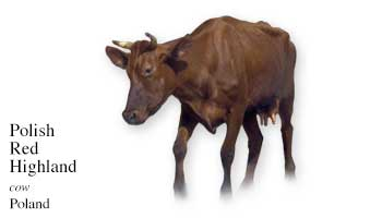 Poland Cow Name with Picture