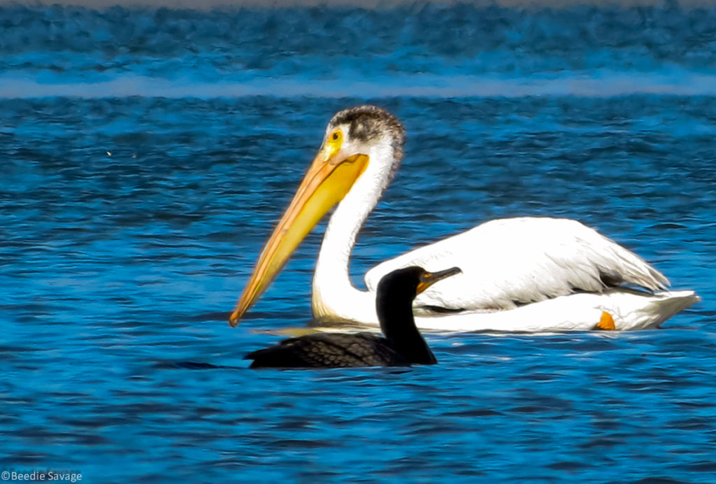 Pelican and Cormorants