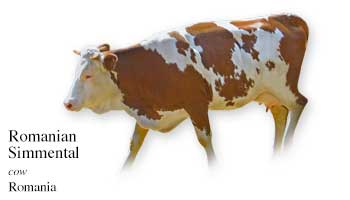 Romania Cow Name with Picture