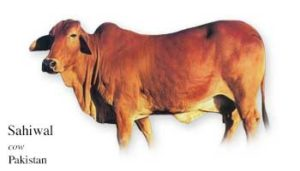 List of Pakistani Cow Name with Picture